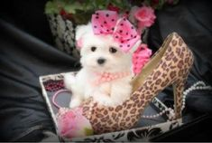 TEACUP MALTESE PUPPIES FOR                              …