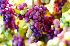 Beautiful Vineyard Grapes | great American wine story Balletto Vineyards and Winery on the ...