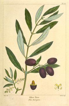 botanical illustrations olive - Sök på Google