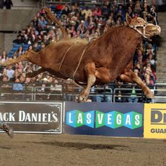 Bull in flight...cowboy grounded.