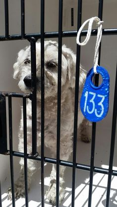 03/23/17-HOUSTON-EXTREMELY URGENT -This DOG - ID#A480061 I am a male, white Poodle - Miniature. The shelter staff think I am about 1 year and 8 months old. I have been at the shelter since Mar 23, 2017. This information was refreshed 27 minutes ago and may not represent all of the animals at the Harris County Public Health and Environmental Services.