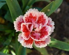 The Language of Flowers! Represents 200 years of tradition. Those individual types of flowers and flower colors express specific Flower Sentiments and Flower Meanings Flowers Nature, Beautiful Flowers, January Birth Flowers, Pictures Of Spring Flowers, Red Spider Lily, White Carnation, Belle Plante, Language Of Flowers, Types Of Flowers