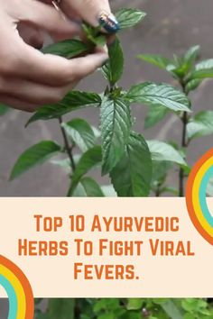 Top 10 Ayurvedic Herbs To Fight Viral Fever Ayurvedic Herbs, Ayurvedic Medicine, Healing Herbs, Medicinal Plants, Herbal Medicine, Natural Medicine, Ayurveda, Herbal Remedies, Natural Remedies