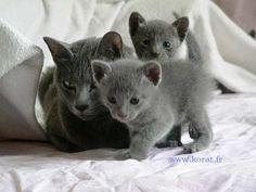Brain exploding amounts of cuteness -- Korat kittens Pretty Animals, Cute Animals, Korat Cat, Pedigree Cats, Cat Empire, Rare Cats, Cat Watch, Pet Paws, Russian Blue