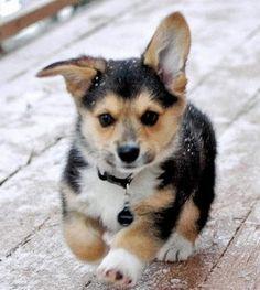 Corgy puppy <3