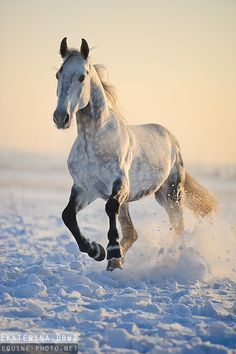 Equine Photographers Network :: Images Orlov Trotter stallion