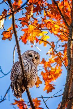 Barred Owl Among Autumn Colours