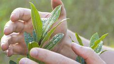 Organik tarımda kullanılan bitki koruma yöntemlerinden bir diğeri de aktif bitki koruma ilke ve yöntemleridir. Organik tarımda bel...
