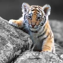 really sweet tiger cub pic