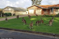 Kangaroos line the front yard of a home in the South West Rocks on the coast of New South ...