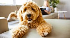 Labradoodle: Why is the Lab Poodle mix a controversial choice? A complete guide to Labradoodle dogs, including size, personality, puppy adoption and rescue. Golden Labradoodle, Labradoodles, Girl Dog Names, Pet Hair Removal, Best Brushes, Guide Dog, Poodle Mix, Labrador Retriever Dog, Dog Cat