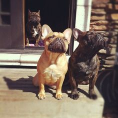French Bulldog because we should all have one