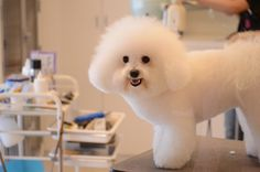 Bichon Frise | Flickr - Photo Sharing!