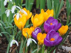 Very beautiful small spring flowers - yellow and purple crocus and white snowdrops.