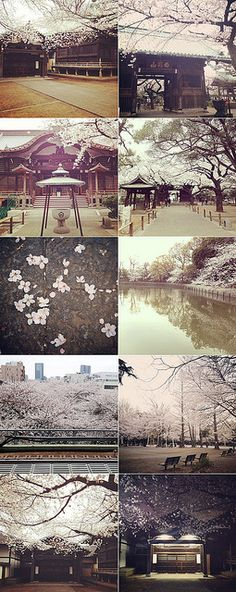 I can't believe how quickly sakura came into full bloom this year, they started to pop out about 10 days earlier than usual and once they s. Cherry Blossom Party, Sakura Cherry Blossom, Art Pics, Art Pictures, Love Your Life, Amazing Photography, Landscaping, Around The Worlds, Pastel