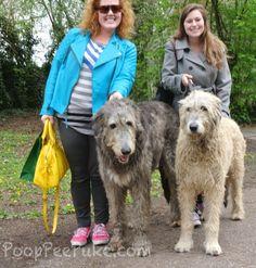 irish wolf hounds  http://www.pooppeepuke.com/2013/05/07/irish-wolf-hounds/