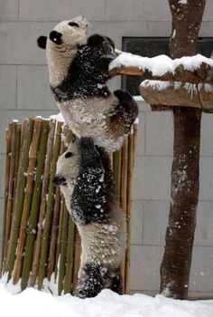 Two pandas helping each other up on a wooden platform.