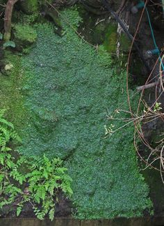 The Liverwort Conocephalum conicum after 20 years of growth on an old Patrick Blanc Vertical Garden now maintained by his sister Corine, Paris