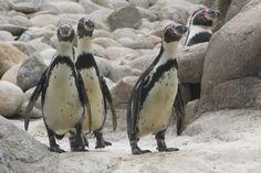 Pinguino de Humboldt.