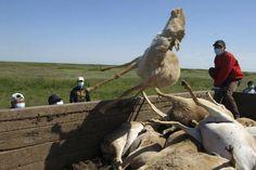 Ze halen alle karkassen van de antilopen op. Daar kunnen ze dan onderzoek naar verrichten om te kijken wat er juist gebeurd is.