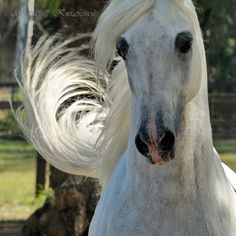 Arabian horse -- white beauty....