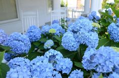 Endless summer hydrangea is one of the most popular summer flowers for the garden. Endless summer hydrangeas are easy to care for, they offer magnificent Endless Summer Hydrangea, Hydrangea Not Blooming, Hydrangea Garden, Hydrangea Flower, Summer Flowers, Blue Flowers, Beautiful Flowers, Hydrangeas, Outdoor Landscaping