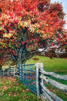 Autumn Maple Tree Fence Gate I (by Dan Carmichael)