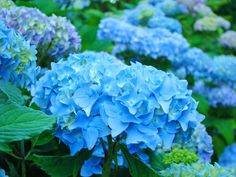 Summer Garden Blue Hydrangea by  © Baslee Troutman, via fineartamerica.com