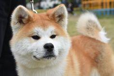 Japanese Dog Breeds, Japanese Dogs, Co Trip, Akita Dog, Nihon, Animals, Doggies, Animaux, Animal