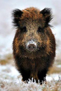 Wild boar http://riflescopescenter.com