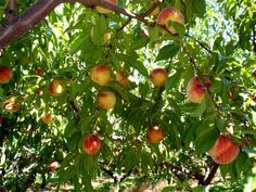 peach trees Southern Landscaping, Homestead Gardens, Peach Trees, Dream Garden, Beautiful Gardens, Outdoor Spaces, Around The Worlds, Backyard, Landscape