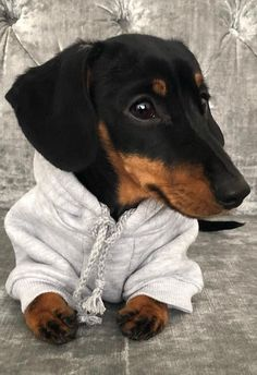 10 Reasons Dachshunds Are The Funniest Dogs - Dachshund Bonus Dachshund Shirt, Funny Dachshund, Dachshund Puppies, Weenie Dogs, Dachshund Love, Funny Dogs, Cute Puppies, Cute Dogs, Dogs And Puppies