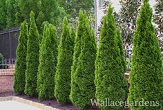 Emerald Arborvitae, evergreen tree screen. I love these for a privacy screen and color in the midst of winter.