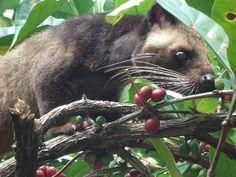 The Famous Kopi Luwak (Indonesia). http://helloasia.travel