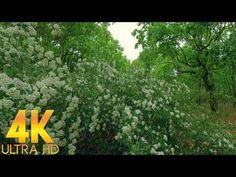 Натуральные Звуки Весеннего Дождя Пение Птиц Шум Ветра Цветущая Таволга в 4K Ultra HD - YouTube Relaxing Room, Relaxation Room, Youtube, Plants, Planets