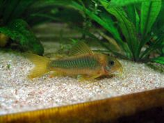 Green gold catfish (corydoras) 6cm Max size