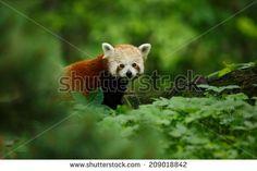 Portrait of a Red Panda ( Ailurus fulgens ) - stock photo