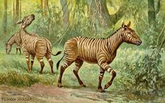 Meet the Horses of Cenozoic North America: Hypohippus lived in the woodlands of North America during Middle Miocene times (17-11 million years ago) It was about six feet long and 500 pounds It was large with relatively short legs with three-toed feet