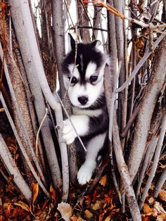 Lily the Siberian husky puppy #SiberianHusky