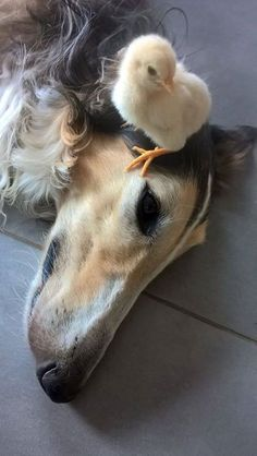 A Borzoi and his chick
