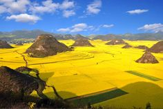 In this breathtaking aerial photograph via MSNBC, we see fields of canola plants in full bloom and ready for harvest in Luoping, southwest China's Yunnan province