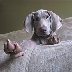 13 weeks old - weimaraner pup