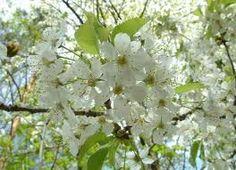 Třešeň obecná Latin. n. Prunus cerasus