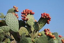 Opuntia ficus-indica - Indian Fig, Cactus Pear is a slow growing perennial shrub up to feet m) high. The root-system spreads horizontally. Opuntia Cactus, Cactus Planta, Prickly Pear Cactus, Cactus Y Suculentas, Ficus, Succulent Tree, Cacti And Succulents, Edible Plants, Edible Flowers