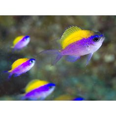 See related links to what you are looking for. Marine Aquarium Fish, Marine Fish, Reef Aquarium, Saltwater Fish Tanks, Saltwater Aquarium, Underwater Creatures, Ocean Creatures, Tropical Fish Store, Mandarin Fish