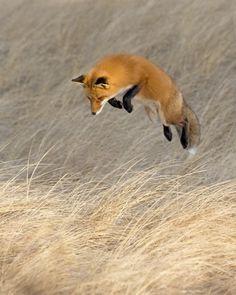 Fox in Flight. Photo by Bob Malbon