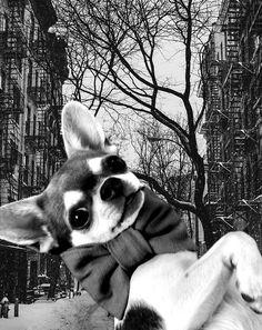 #handmade #dogcollars #dogproducts #weeklyfluff #dogs #fashionblog #stylishdog #worldofcutepets #smile Cute Chihuahua, Dog Modeling, Dog Bows, Brand Ambassador, Dog Accessories, Pet Toys, Small Dogs, Boston Terrier, Dogs And Puppies