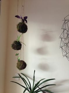 Kokedama balls !  Made by me of course !  Can't wait to watch them grow ;)