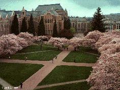 Cherry blossoms, University of Washington, Seattle, WA