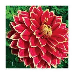 Cuttings are taken from our motherstock. Order now for delivery Spring Cuttings are delivered between April and May. Cuttings, Dahlias, Roots, Carnival, Seeds, Delivery, Spring, Plants, Plant Cuttings
